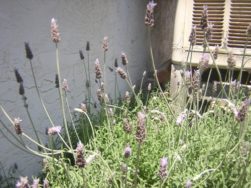 Lavender is Well known for its calming attributes, It is often used for insomnia, restlessness, stress and anxiety. The health benefits of lavender oil for the skin can be attributed to  its antiseptic and anti-fungal properties. It is used to treat various  skin disorders such as acne, wrinkles, psoriasis, and other  inflammations. It helps heals wounds, cuts, and burns. Lavender oil is  used for various  respiratory problems the oil is either used in the form of vapor or  applied on the skin of neck, chest and back.  Lavender is one of the few   essential oils that can be applied directly to the skin undiluted. In aromatherapy, lavender is one of the most used essential oils. for more information on usages in aroma therapy check out http://www.surrealgardening.com/essentialoils/lavender.htm
