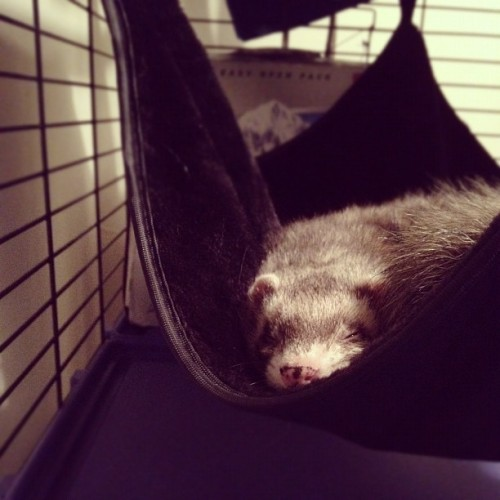 New hammock. #taco #ferret  (Taken with instagram)