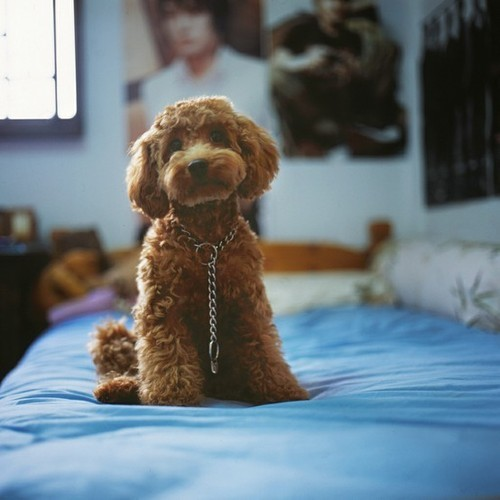 shesaloverofchrist:  mochacafe:  (via 19-ninefeethigh)  Apricot poodles are my favourite. Ever.