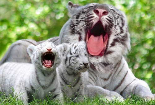 Little Yawn, Big Yawn via:cutestuff