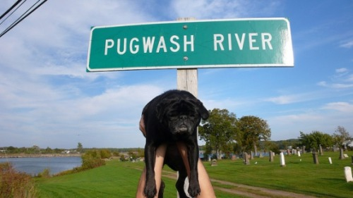 Lucy The Pug: Pugwash River, huh. Me:  Yeah.  Looks pretty.  Very nice, we could go camping. Lucy The Pug: Ah no.  Looks too much like bath time.  Me:  You like baths. Lucy The Pug:  Yeah!  HOT baths.  Steamy water.  Scattered rose petals.  Nobody's scrubbing my butt in a river.