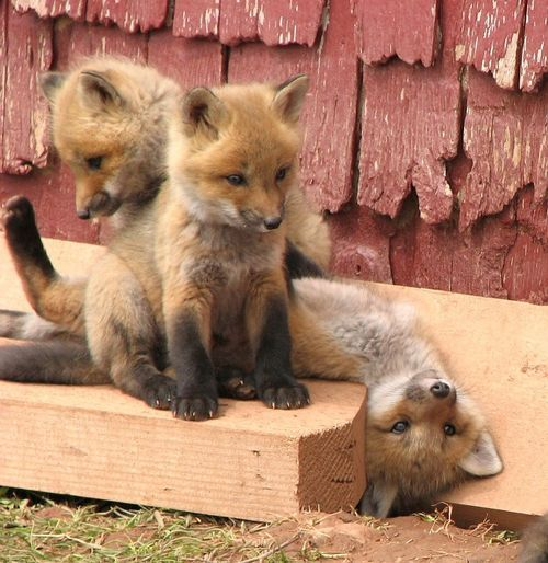 I want a little fox as a pet, please! Look at the one laying down (: