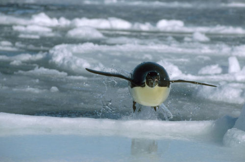 Emperor penguin (Aptenodytes forsteri) leaps out of sea onto ice, Antarctica. Picture: DOUG ALLAN/NPL/REX (via Freeze Frame: Doug Allan's images of wildlife in some of the world's coldest places - Telegraph)