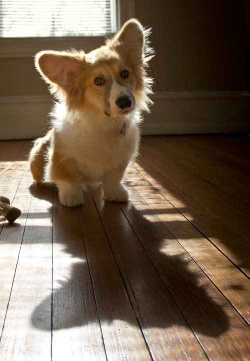 corgiaddict:  … and a small corgi will cast a big shadow… Stanley is coming.