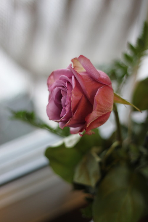 A beautiful rose I got for Valentine's Day. I decided to take photos today, more are on the way!