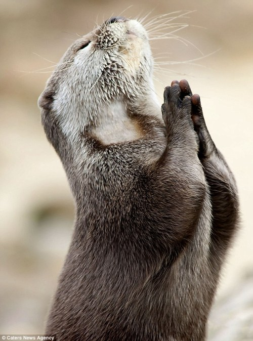 superpunch2:  Praying otter.