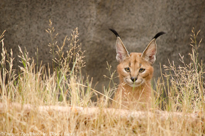 littlebigcats:  All ears (by DeeOtterPhotographer)