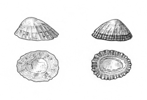Patella vulgata - the Common European Limpet and Patella lusitanica now called Patella rustica - the Rustic Limpet