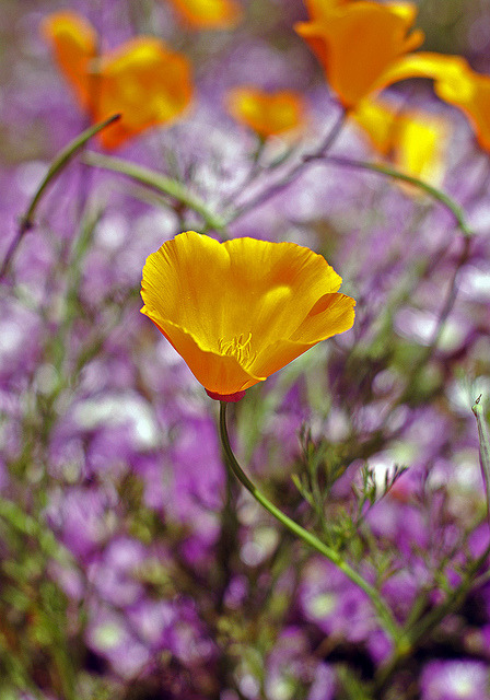 california poppy by adlin on Flickr.