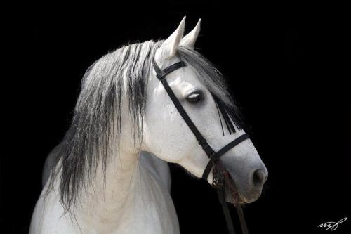 such incredible presence and grace in a simple pose.  I love these horses.  (via Andalusian stallion by Melissa B�cheler)