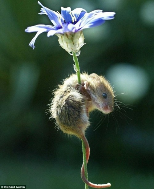 pixiewinksfairywhispers:  magicalnaturetour:Cuteness by Richard Austin  I never understood how someone could be frightened of a mouse… they are way too cute!