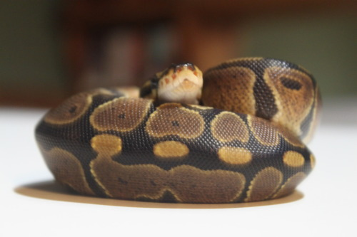 theanimalblog:  Normal Ball Python Submitted by : Haley N.  What a cutie!