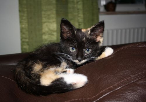 fuckyeahfelines:  My cat Bellatrix Lestrange when she was around 11 weeks old. (She's 1 year and 10 months old now)