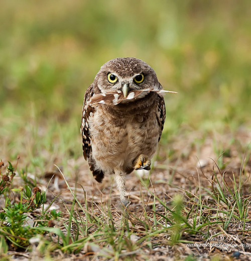 fairy-wren:  burrowing owl with feather (photo by judylyn m.)  He looks like he's about to kill someone