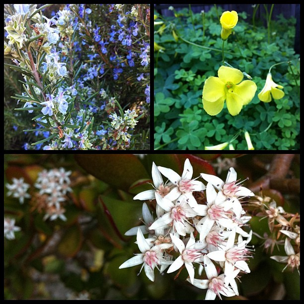 Flowers currently in bloom in our yard.  1.  Rosemary 2. Oxalis (clover)  3. Succulent. #flowers #bloom #succulent #rosemary #oxalis (Taken with instagram)