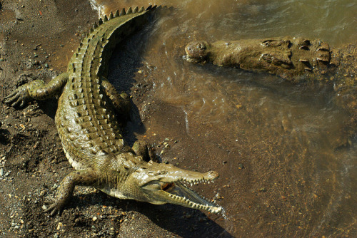 thepredatorblog:  The American Crocodiles of Tarcoles River (by monarchzman)  Amazing. Love the colours here… the murky, dirty browns contrasting with the whiteness of the underbelly and the highlights upon the scutes.