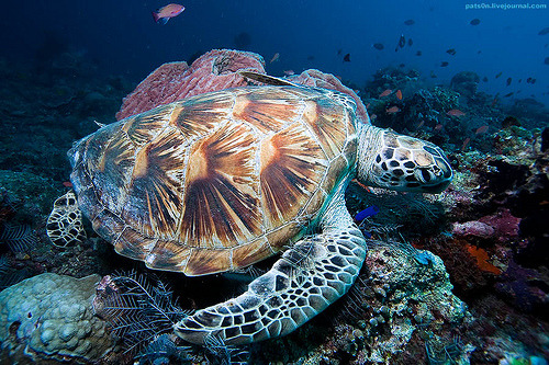 Green Sea Turtle | Chelonia mydas  (by pats0n)