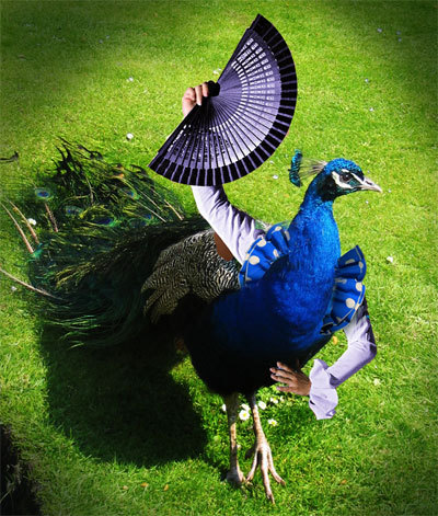 many a bird has been mystified by the exotic dances of the peacock with arms