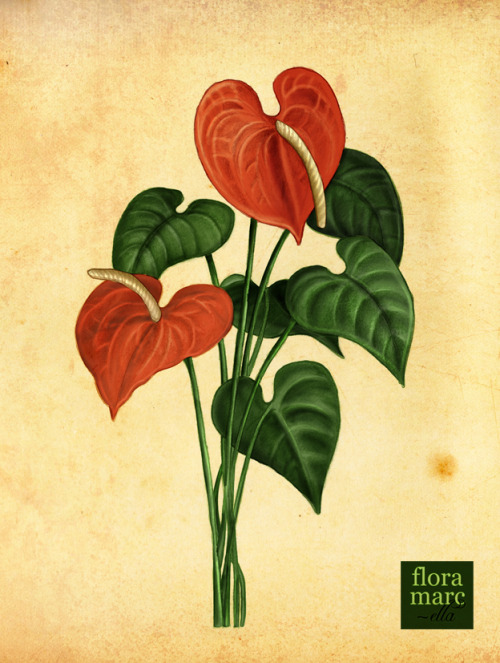 Anturium Illustration Indonesian Native Plant Illustration Series I made for calendar