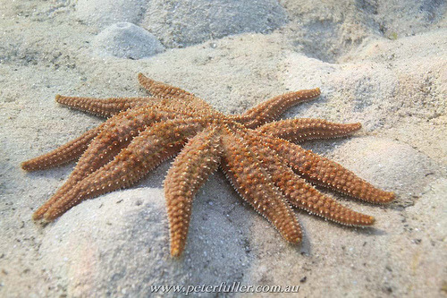 Eleven Armed Sea Star | Coscinasterias calamaria (by telephema)