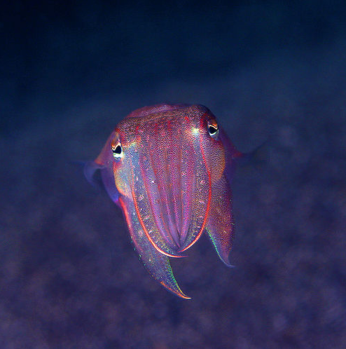 This blog passed its 3000th follower mark! Here's a celebratory Cuttlefish :D Photo By: aquanerds Thank you everyone for following!