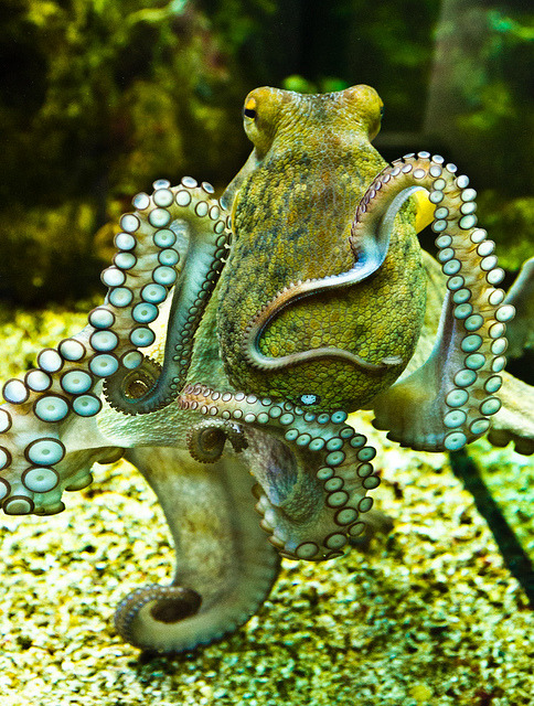 fyeah-seacreatures:  Inquisitive Octopus. By: AnnBuster
