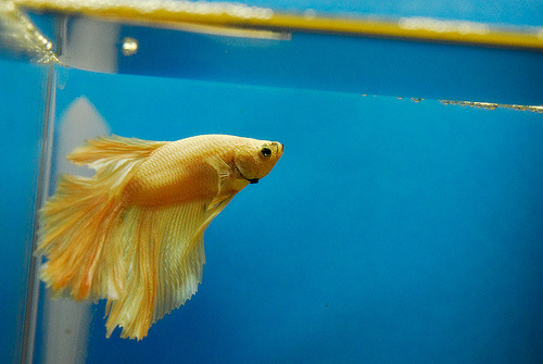 Betta | Betta splendens (by Leon Huang)