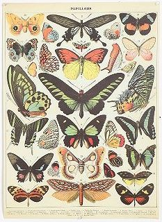 Butterfly Specimen Poster Love the look and feel of this poster…would love to frame it and put it up in our new place :)