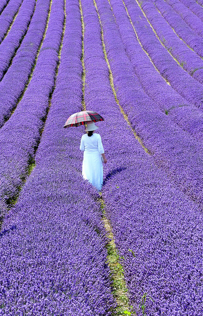 agoodthinghappened:  Lavender Walk by amberlight1 on Flickr.