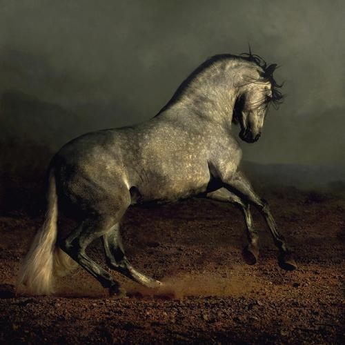 Andalusian stallion.  All power and grace, with a touch of elegance.  (via Photo by Wojtek Kwiatkowski)