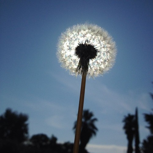 Dandelion Sun #ig #webstagram #instagram #instagramers #iphoneography #instagramhub #iphone4 #iphone4S #statigram #photography #igers #picoftheday #bestoftheday #igaddict #instaboost (Taken with instagram)