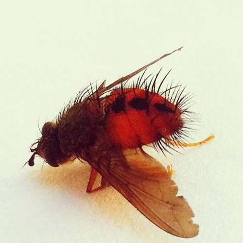 Dead colorful fly, kneeling. #iphoneonly #animal #insect #orange #hairy #wings #closeup #colors #camera+ #dead #bright #legs (Taken with instagram)