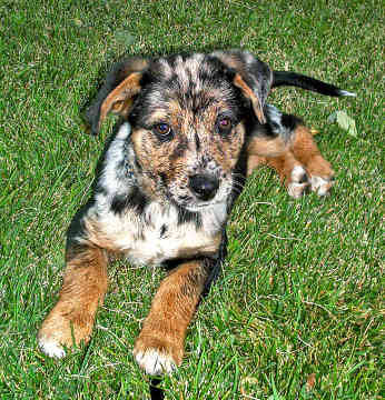 Louisianna Catahoula Leopard Dog
