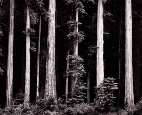 missfolly:  Ansel Adams: Redwoods, Bull Creek Flat, ca. 1960
