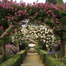 Mottisfont Abbey Rose Garden - Hampshire