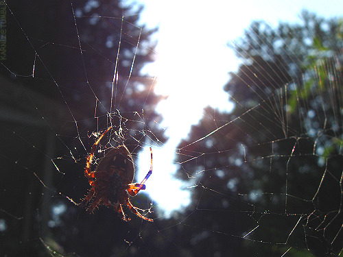 Photo: One of many lovely little Orb Weaver Spiders that made residence in my garden last year. Was taken inches from this little lady, and from underneath the web looking up. She stayed nice and still just for me. ♥ [Photo taken November 22nd 2011]