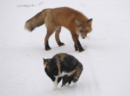 My sister began a cat blog around the same time as my fox blog, and we sort of have an ongoing follower competition.  *above picture is an artist's rendition of it* No but, really. In the spirit of good competition, I'm giving her a push toward her goal of 200 followers. You can go ahead and give her a follow if you like cats as much as you like foxes :) Little Cat, Big Meow