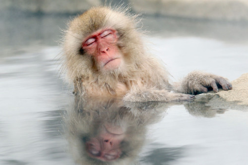 Relaxing Japanese snow monkey. by Nick Ut