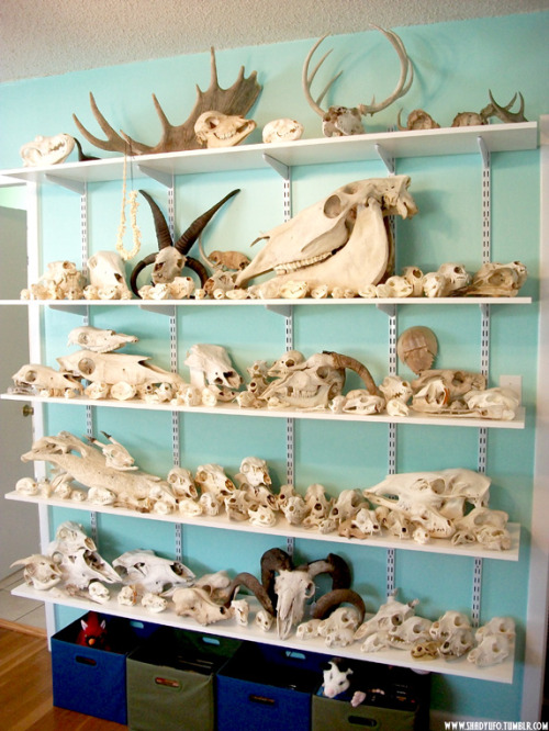 aflightygrim:  shadyufo:  My Wall of Skulls again. Still pretty disorganized but it's starting to grow on me. Added a few new things and got some nifty storage containers to set underneath.   wow why don't i have a wall of skulls  I need a wall of skulls I need that like now