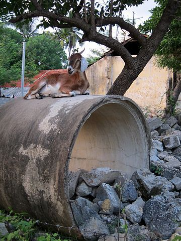 Goat on a pipe.  The way out is through, but the goat is on top.