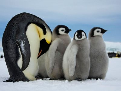 "nationalgeographicdaily:  Emperor Penguins, AntarcticaPhoto: Dafna Ben Nun An adult emperor penguin in Antarctica takes care of the young ones while the other parents are fishing.  ""This lads, is how you suck yourself off…"""