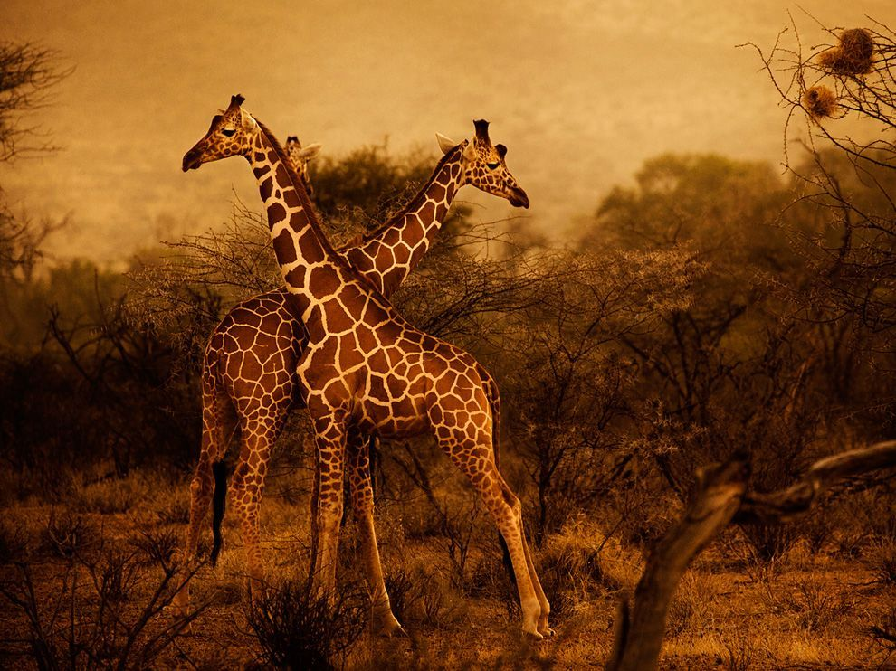 Giraffes, KenyaPhoto: Diego Arroyo Giraffes are pictured at dawn in Kenya's Samburu National Reserve.