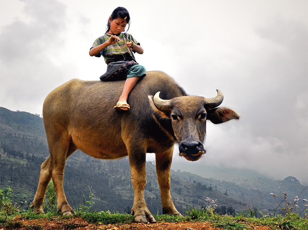 Child and Water Buffalo, VietnamPhoto: Denis Rozan A young Hmong girl rides a water buffalo in Sa Pa, Vietnam.