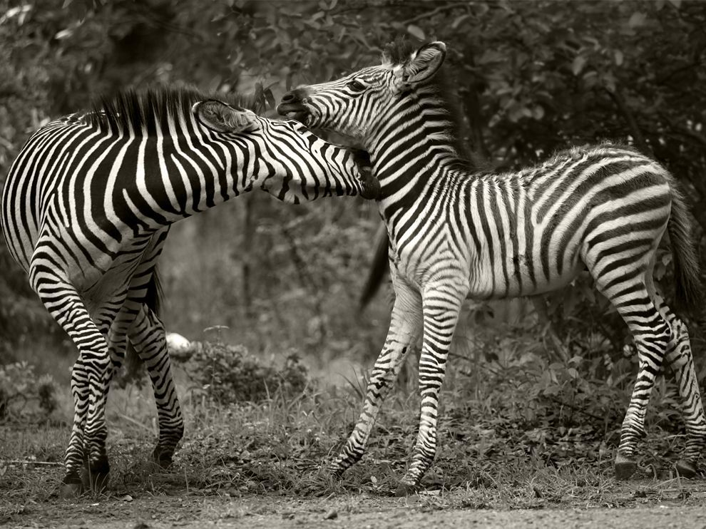Zebras, ZambiaPhoto: Craig Arnold A three-week-old zebra plays with an older zebra.