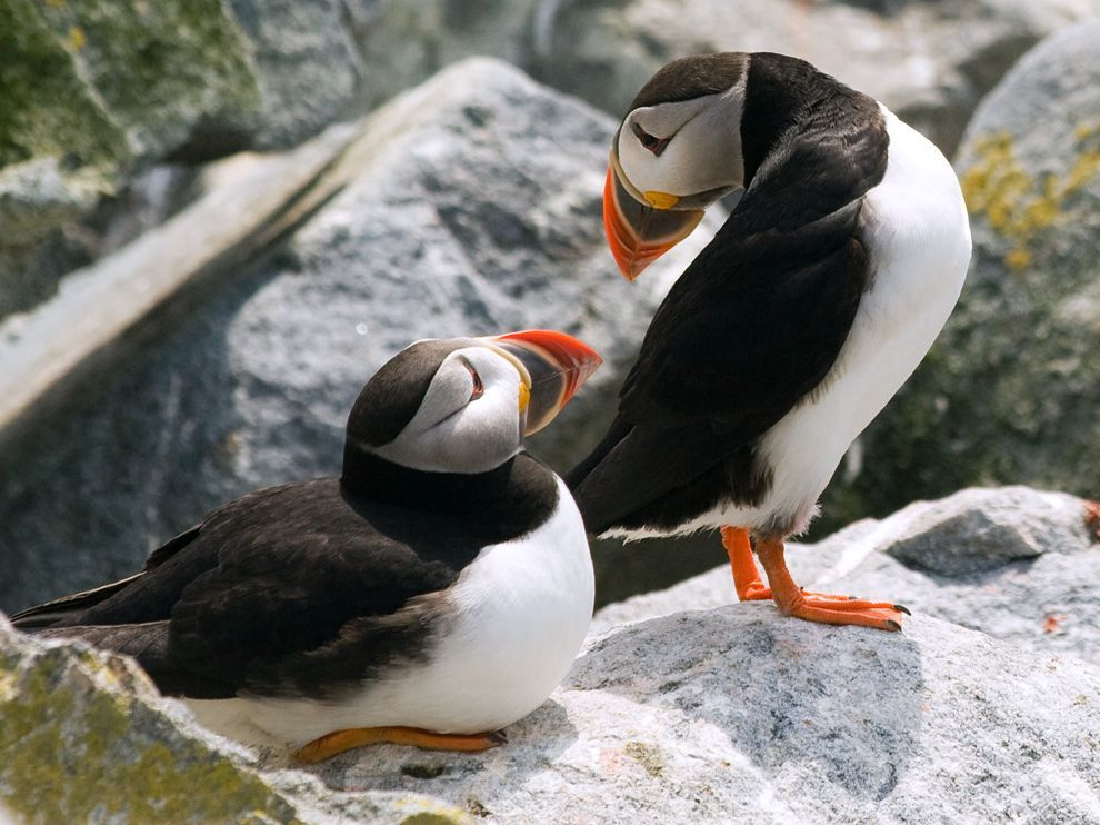 Puffins, MainePhoto: Jon Reaves Puffins interact on Machias Seal Island off the coast of Maine. The island is a sanctuary for puffins and other endangered birds that breed on its rocky coast each summer. Puffins mate in the same pairs for life, yet disperse for the winter.