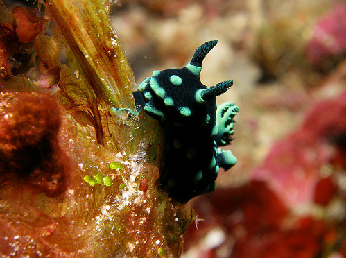 fyeah-seacreatures:  Nudibranch. By: starlight.