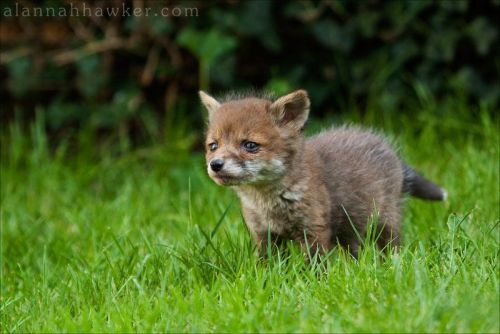 llbwwb:  I used to watch Baby Foxes like this from my window as I ate dinner.by AlannahhawkerThey would bark and jump on each other and were so cute:)