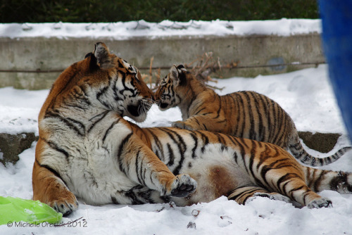 tigersandcompany:  Nose to Nose (by morenick13)