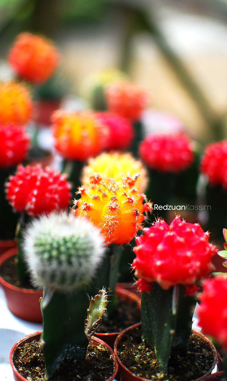 Colourful Cactus. Location: Cameron Highlands, Malaysia. © All rights reserved by RedzuanKassim
