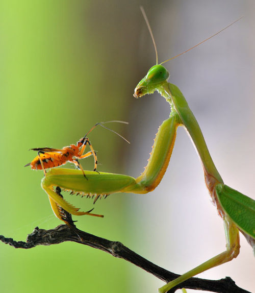 dendroica:  A mantis appears to have struck up an very unlikely friendship with a tiny insect. Photographer Nordin Seruyan took several shots of the unusual pairing after finding them in his back garden in Borneo, Indonesia. Picture: Nordin Seruyan / Solent News & Photo Agency (via Pictures of the day: 20 February 2012 - Telegraph)
